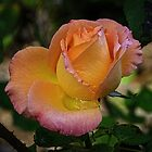 Yellow pink rose Leith Park Victoria 20160420 6833  by Fred Mitchell
