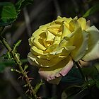 Golden Rose Leith Park Victoria 20160420 6835  by Fred Mitchell