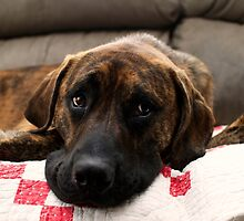 """""""Handsome Hank""""  Brindle Mastiff Mix Dog by Peggy  Volunteer Photographer FOR RESCUE ANIMALS"""