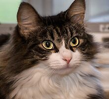 Tabby Cat Peanut by Peggy  Volunteer Photographer FOR RESCUE ANIMALS