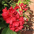 Red Rhodo - Blossoms and Buds by MidnightMelody