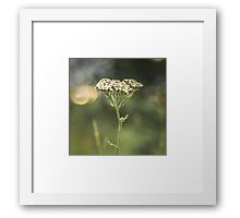 Wild Yarrow Framed Print