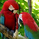 Red-and-green macaws at the zoo by agenttomcat