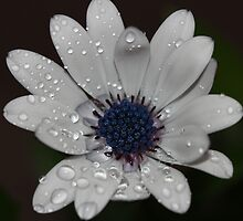 White wet Dasiy by Dipali S