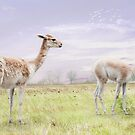 Vicunas by Lissywitch