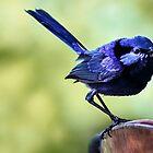 Splendid Blue Fairy Wren by Susan Moss