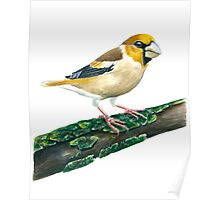 Hawfinch bird Poster