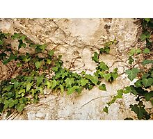 Nature Background with Ivy Leaves on Old Vintage Wall Photographic Print