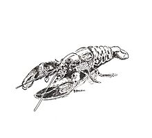 Pen and Ink Lobster Photographic Print