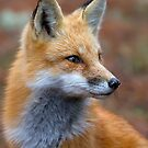 Red Fox profile - Algonquin Park, Canada by Jim Cumming