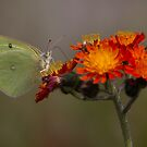 Sulphur butterfly - Algonquin Park, Canada by Jim Cumming