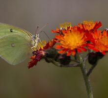 Sulphur butterfly - Algonquin Park, Canada by Jim Cumming