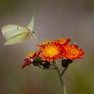 Sulphur Butterfly on Hawkweed - Algonquin Park, Canada by Jim Cumming