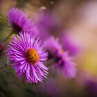 Purple Asters in Autumn by Amy Mitchell