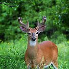 Spring Buck - White-tailed deer by Jim Cumming
