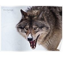 Snarling Wolf Poster