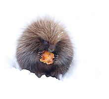 Porcupine with apple Photographic Print