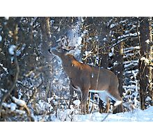 Snow Shower - White-tailed Buck Photographic Print