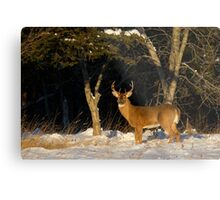 A Winters Sunset - White-tailed deer Buck Metal Print