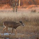 Sunset Wanderer - White-tailed deer by Jim Cumming