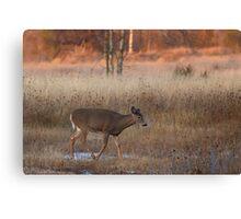 Sunset Wanderer - White-tailed deer Canvas Print