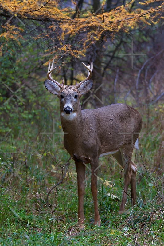 Prince II - White-tailed deer Buck by Jim Cumming