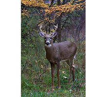 Prince II - White-tailed Buck Photographic Print