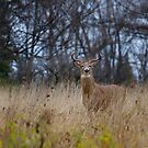 New buck in town - White-tailed Buck by Jim Cumming