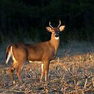 Golden Hour Buck - White-tailed Buck by Jim Cumming
