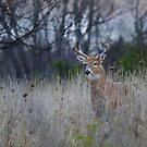 A doe is spotted ahead - White-tailed Buck by Jim Cumming