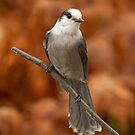 Gray Jay - Algonquin Park, Canada by Jim Cumming