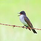Eastern Kingbird by Jim Cumming