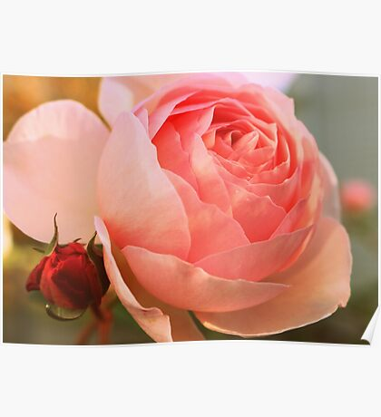 Old Fashioned Pink Rose With Bud Poster