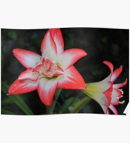 Red and white Lily Poster