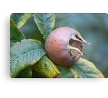 loquats on tree Metal Print
