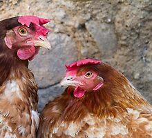 hen in the farm by spetenfia