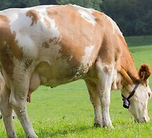 cows in the meadow by spetenfia