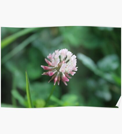 Pink Clover Poster