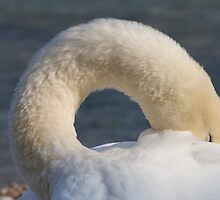 swan at lake by spetenfia