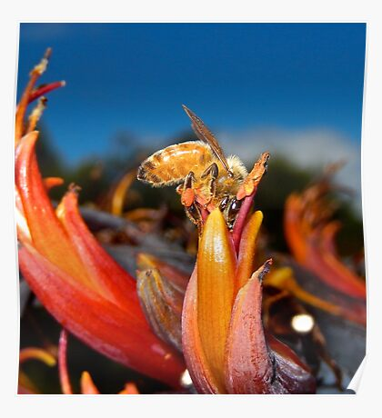 JUST PHOTOS ~ CRITTERS ~ Honey Bee in Flax Flower 2/5 by tasmanianartist Poster