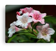 White pink flowers. Canvas Print