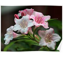 White pink flowers. Poster