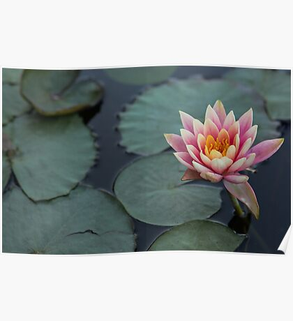 Pink water lily background. Poster