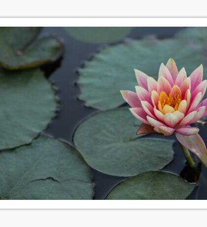 Pink water lily background. Sticker