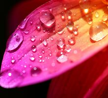 A wet petal by Dipali S