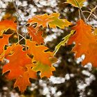 Autumn Oak Leaves by Vickie Emms