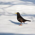 Black bird in the snow by Martyn Franklin