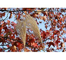 Pampas Grass in Fall Photographic Print