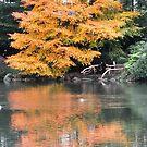 Central Park - Orange Tree by jonwhitehead