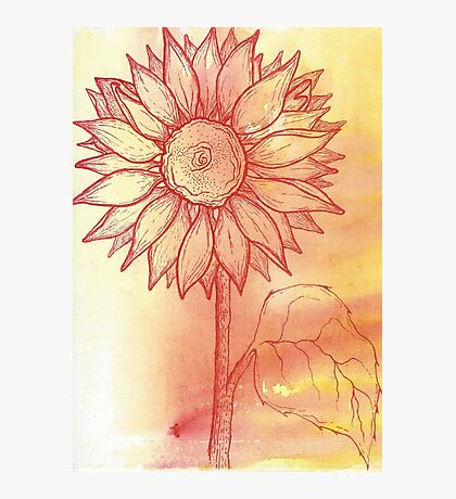 Maroon Sunflower Photographic Print